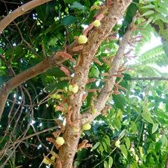 071201-mayom-tree