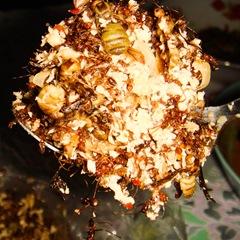 080510-miang-mot-daeng-ants-with-coconut-heap